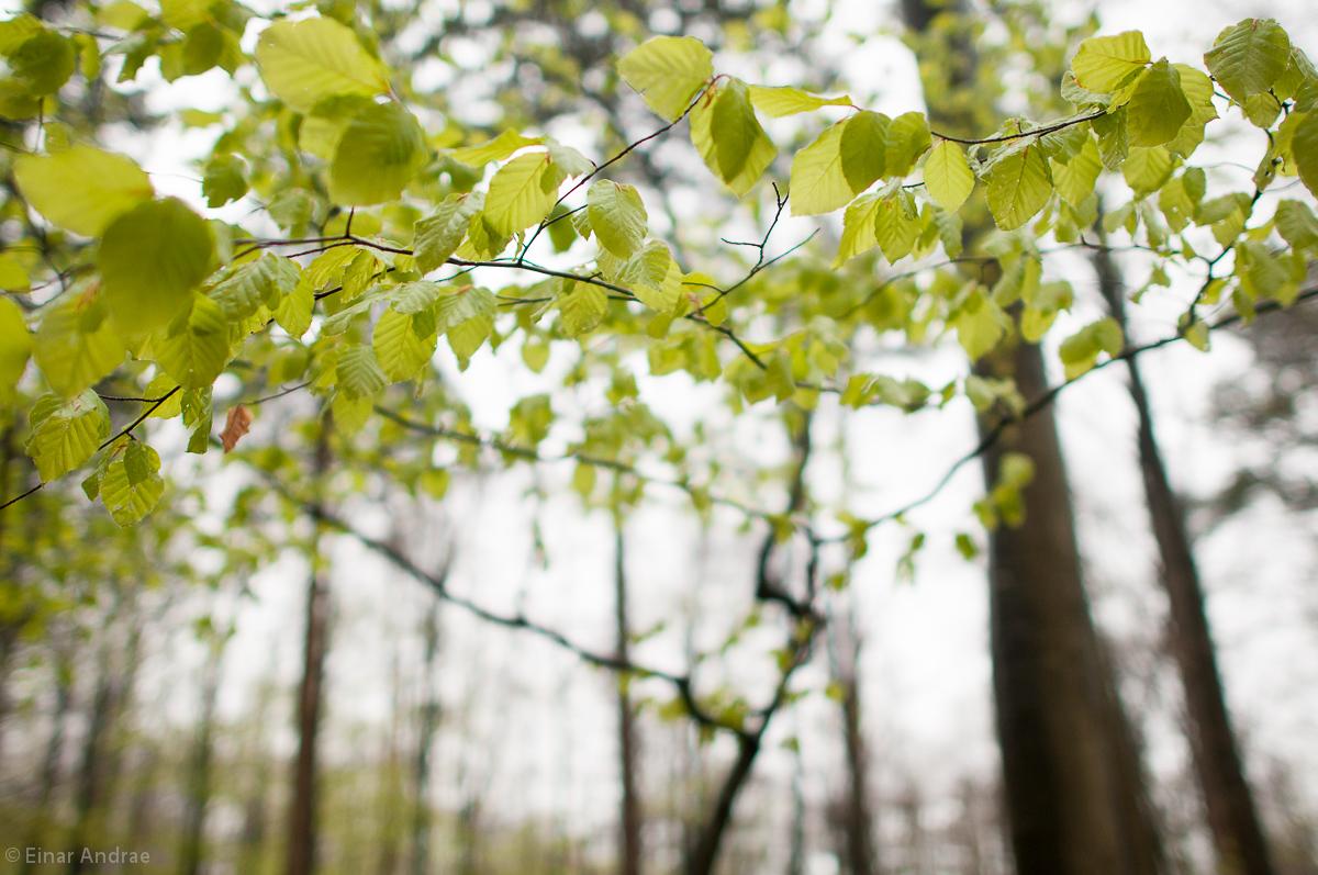 Buchenblätter in Frühling