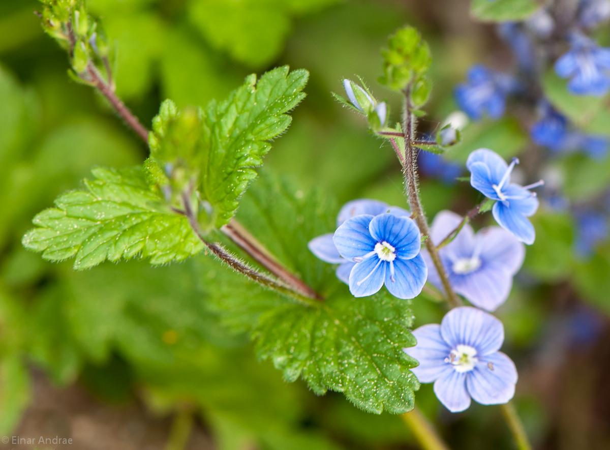 Gamander-Ehrenpreis Blüten