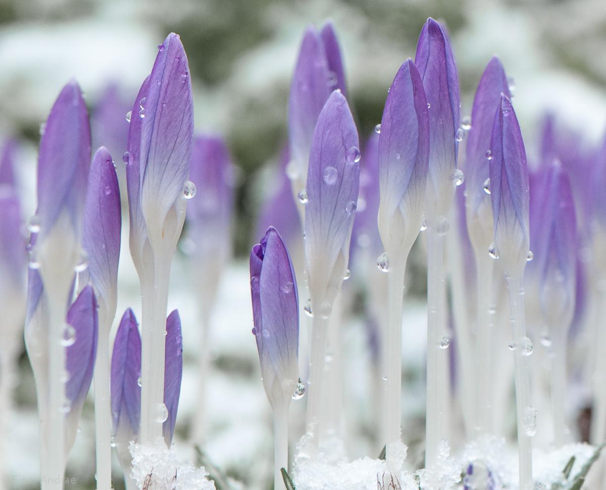 Krokusse im Schnee