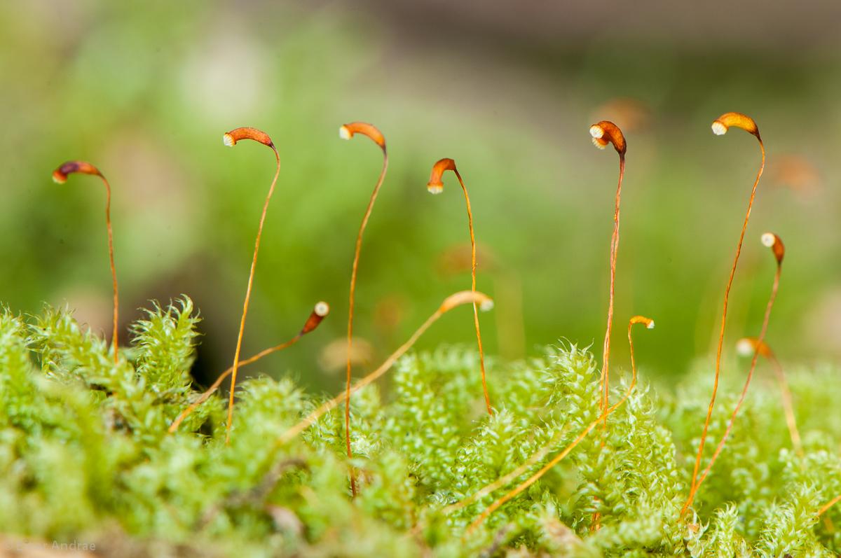 Moos samen pflanzen f r nassen boden for Moos bilder pflanzen