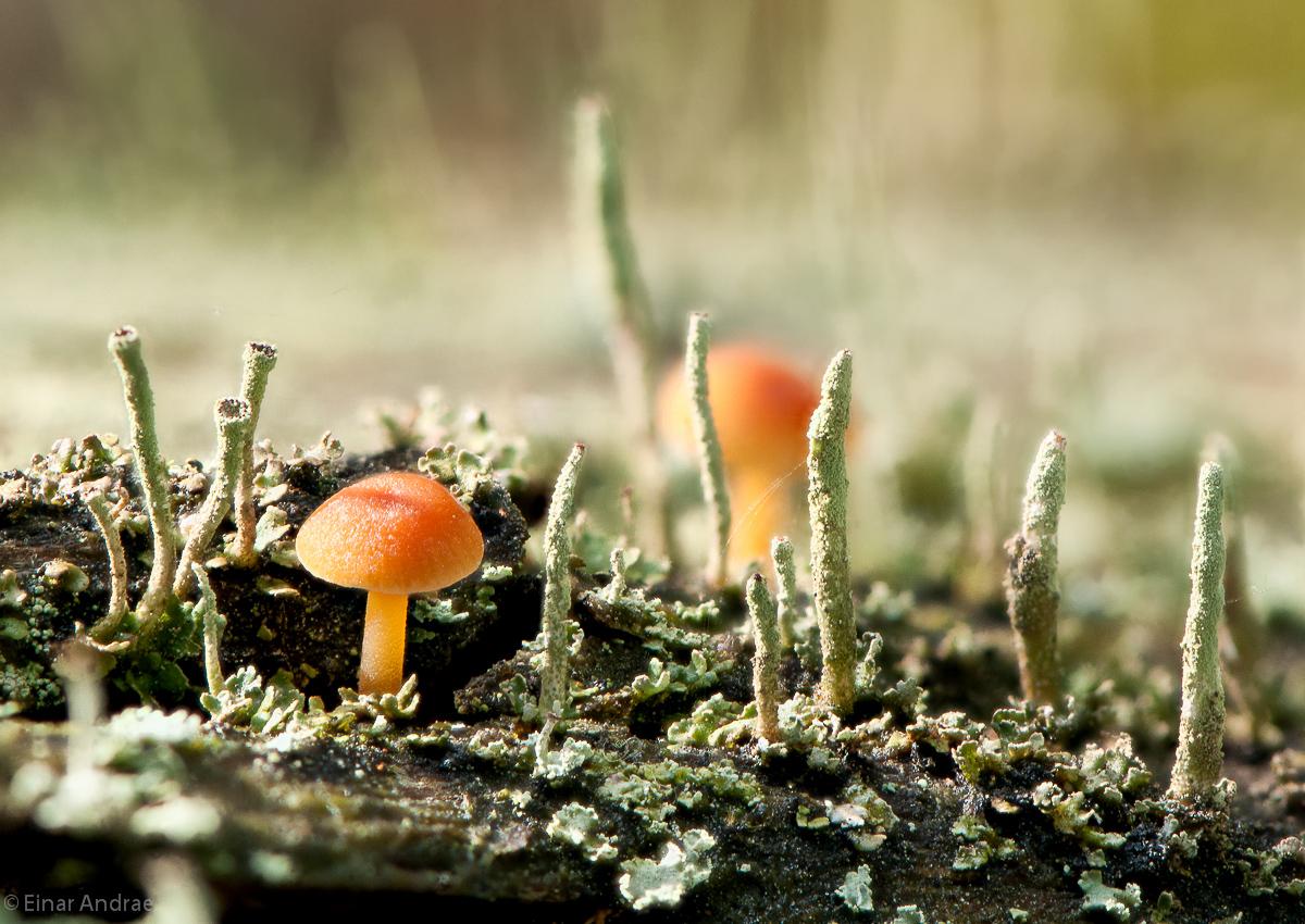 Pilz zwischen Becherflechten