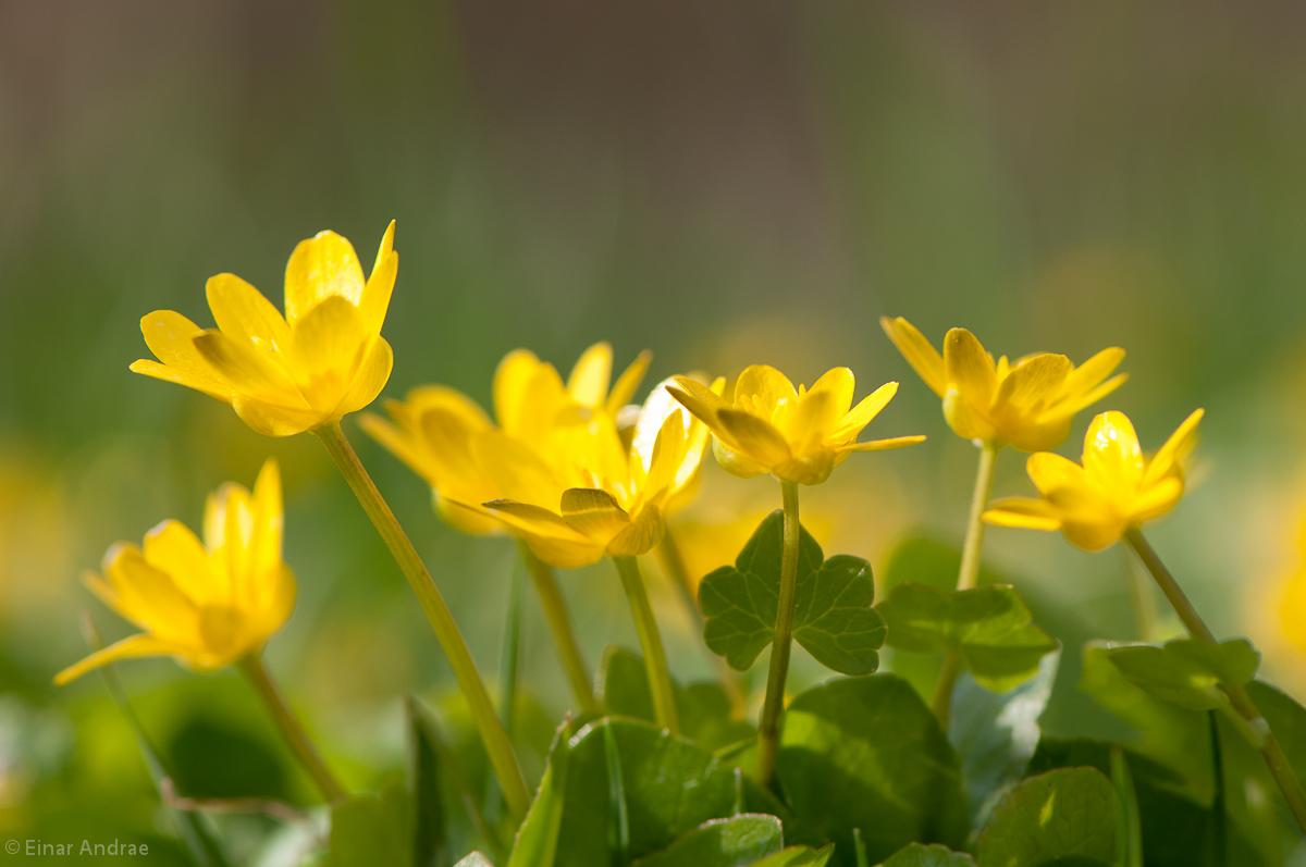 Blühendes Scharbockskraut