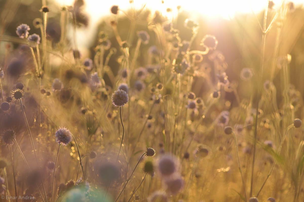 Sonnenuntergang auf der Knopfblumen - Wiese