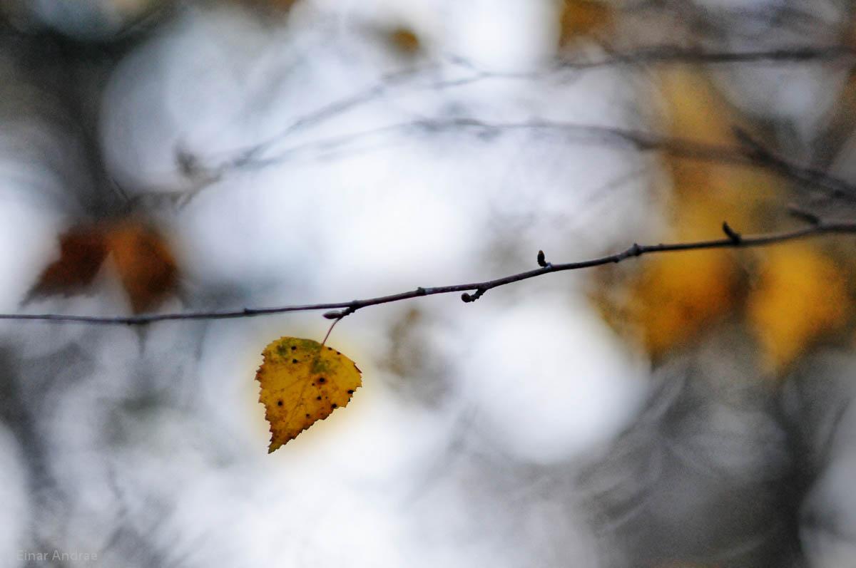 Birkenblätter im Herbst