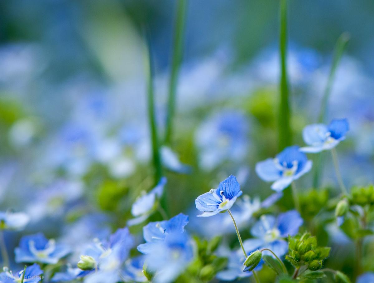 Faden-Ehrenpreis Blüte