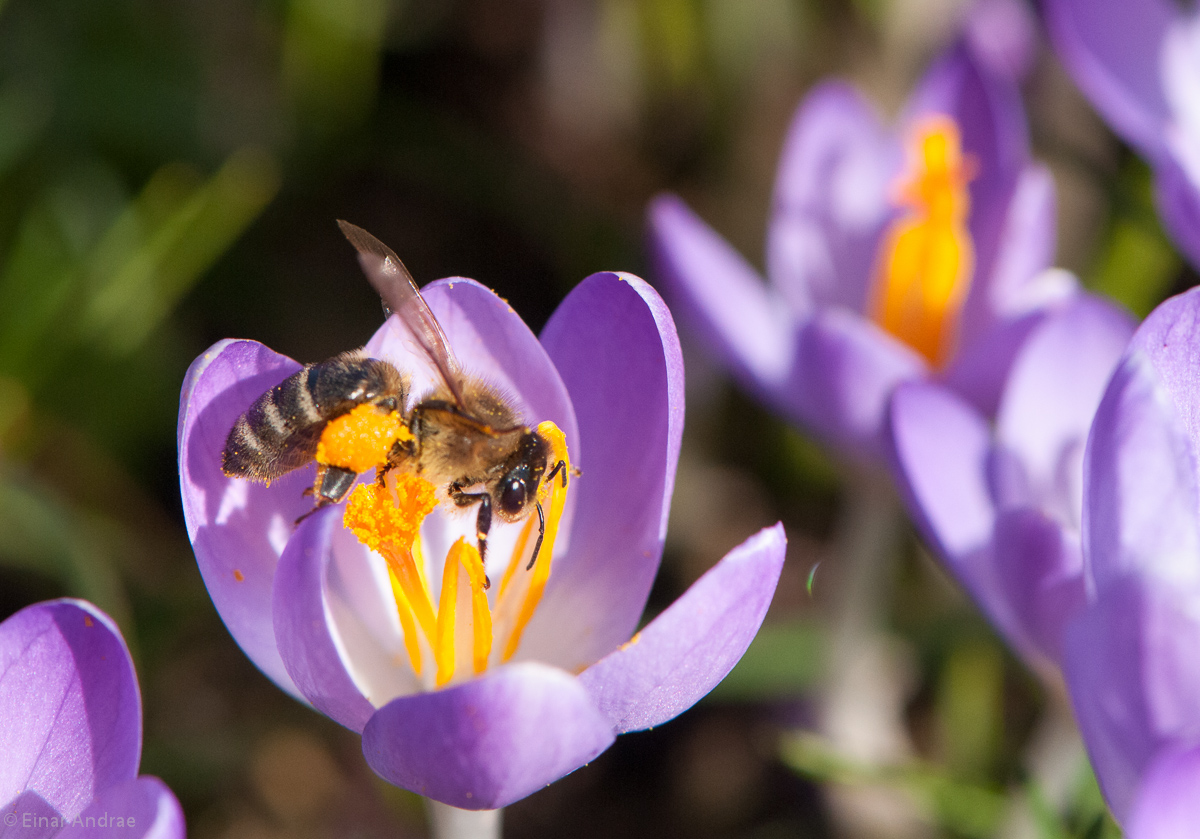 Biene auf einer Krokusblüte