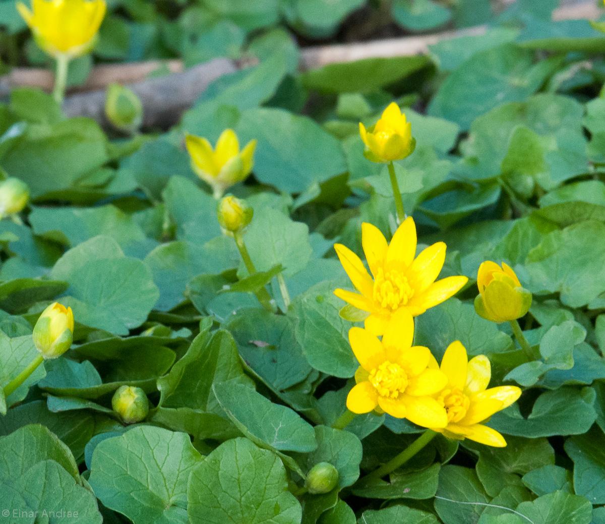 Scharbockskraut Blüten