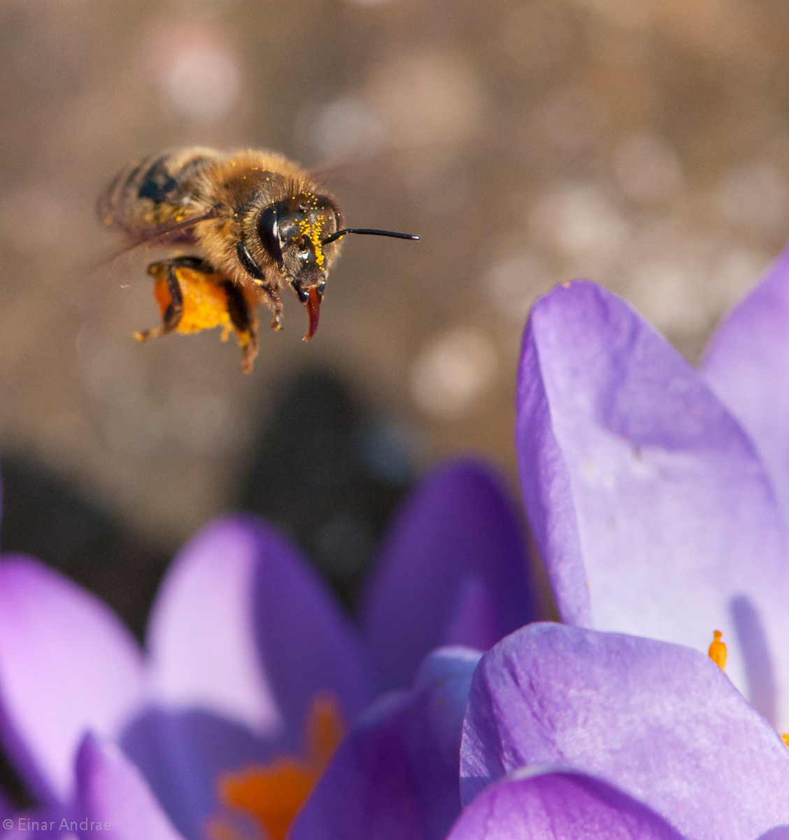 Biene fliegt auf Krokusblüte