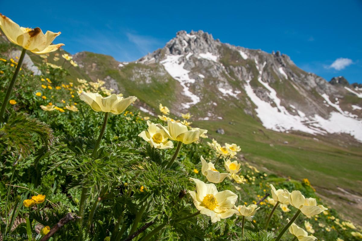 Gelbe Alpen-Küchenschelle