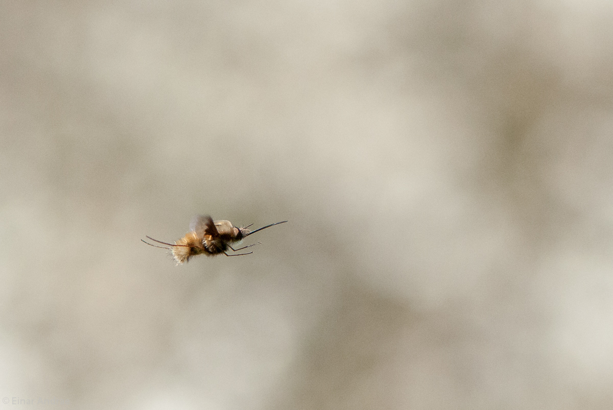 Fliegender Wollschweber