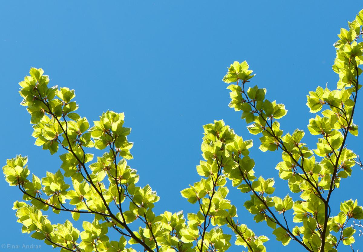 Buchenblätter im Frühling