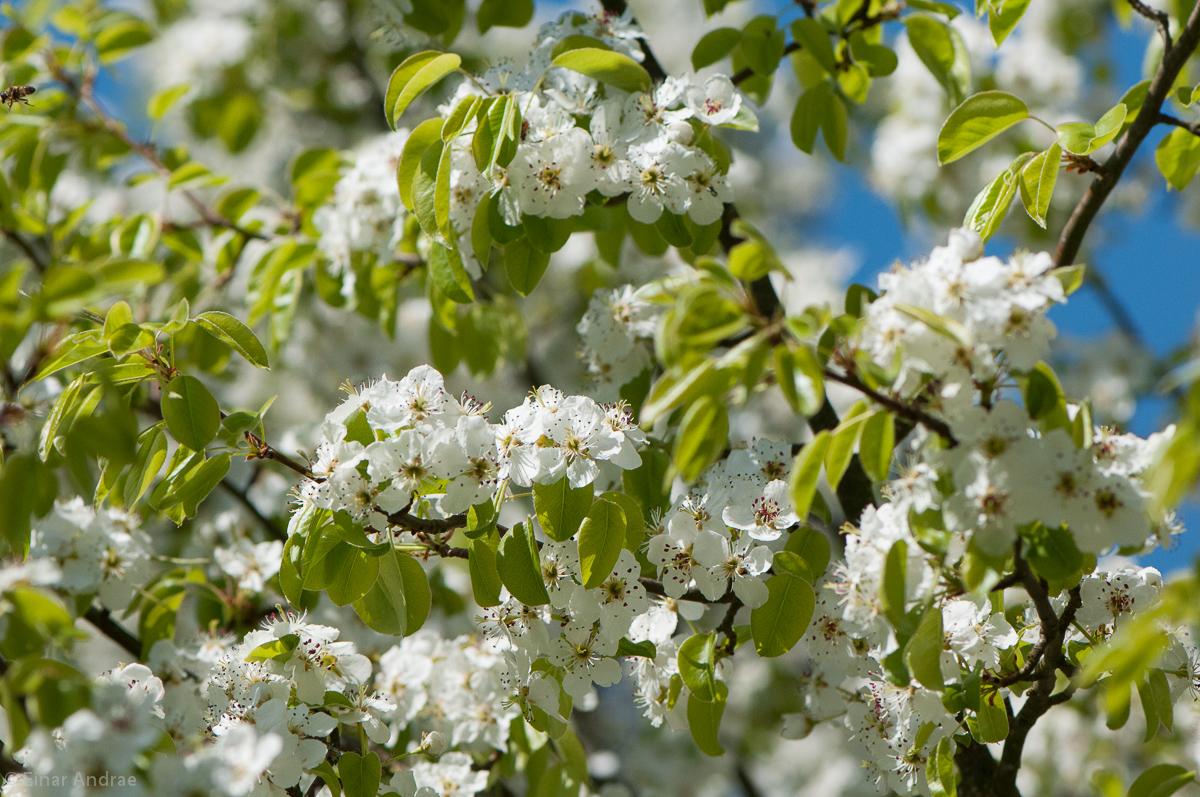 Blüten an einem wilden Birnbaum