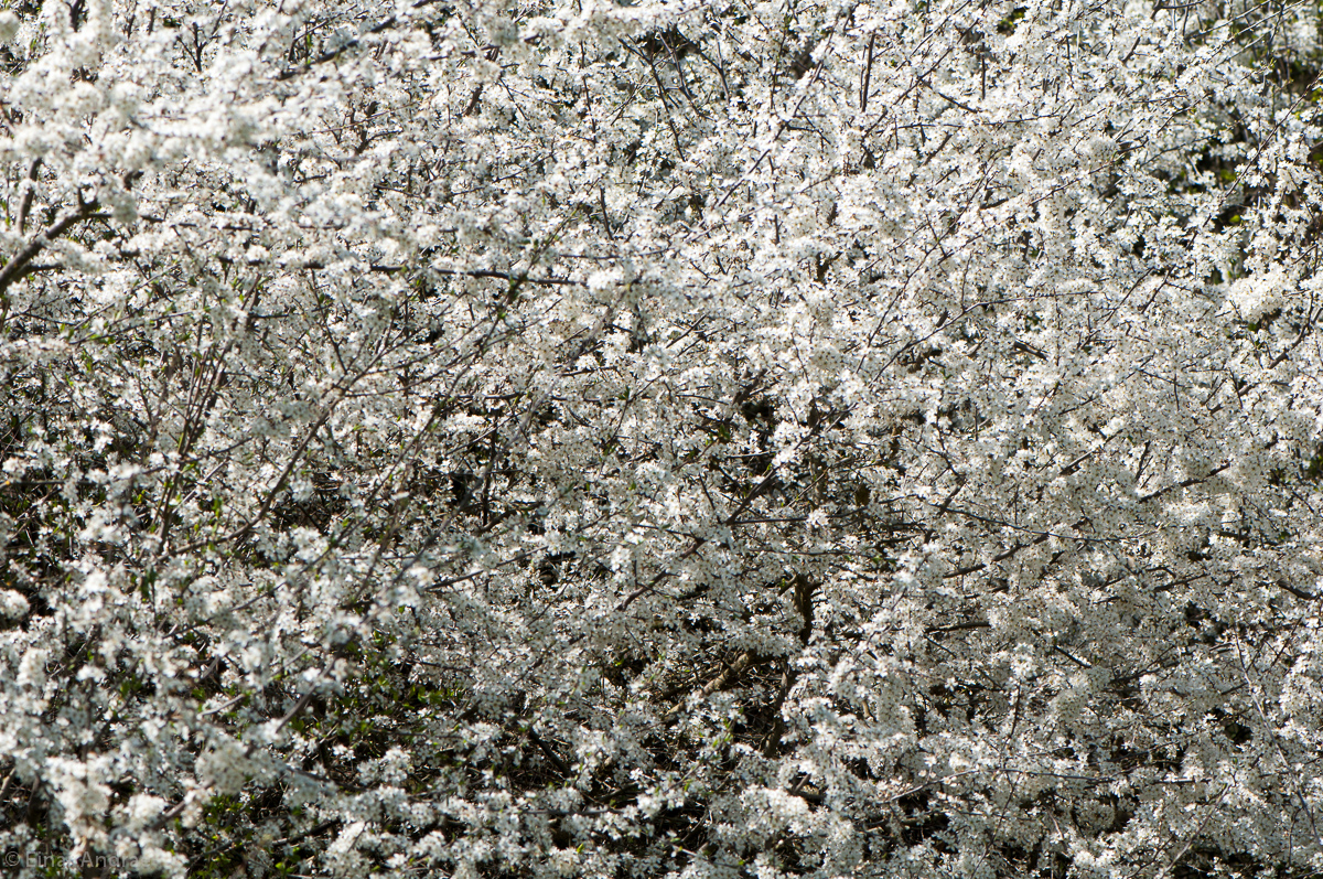 Blühende Schlehenhecke