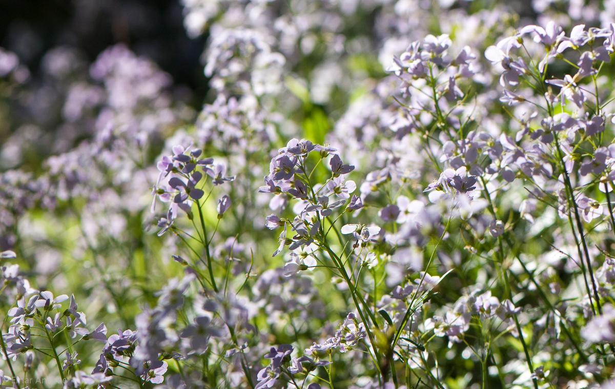 Wiesenschaumkraut Blüten