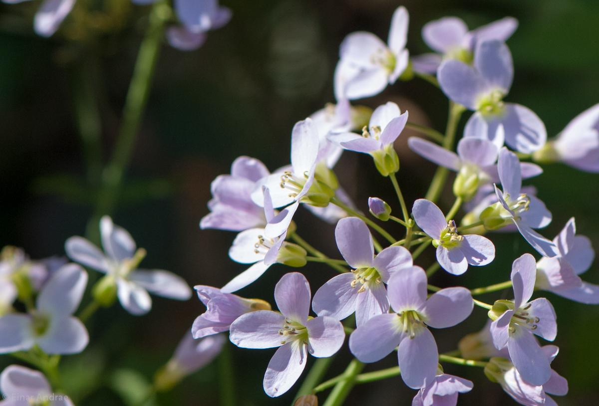 Wiesenschaumkraut Blüte