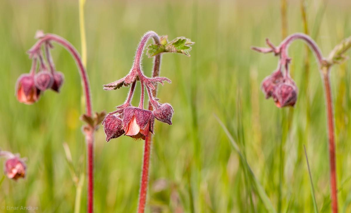 Bach-Nelkenwurz Blüten