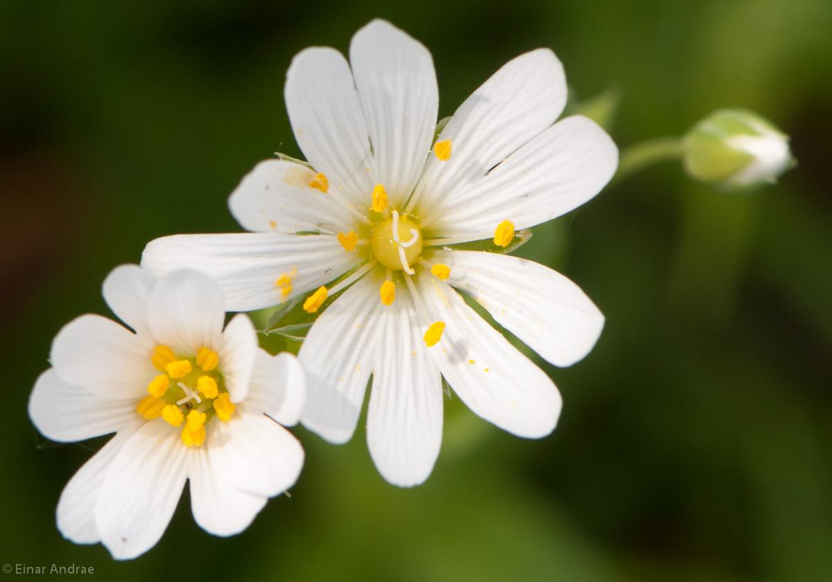 Wald-Sternmiere Blüte