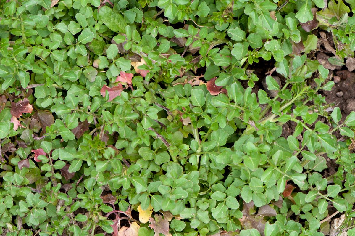 Bitteres Schaumkraut Blätter