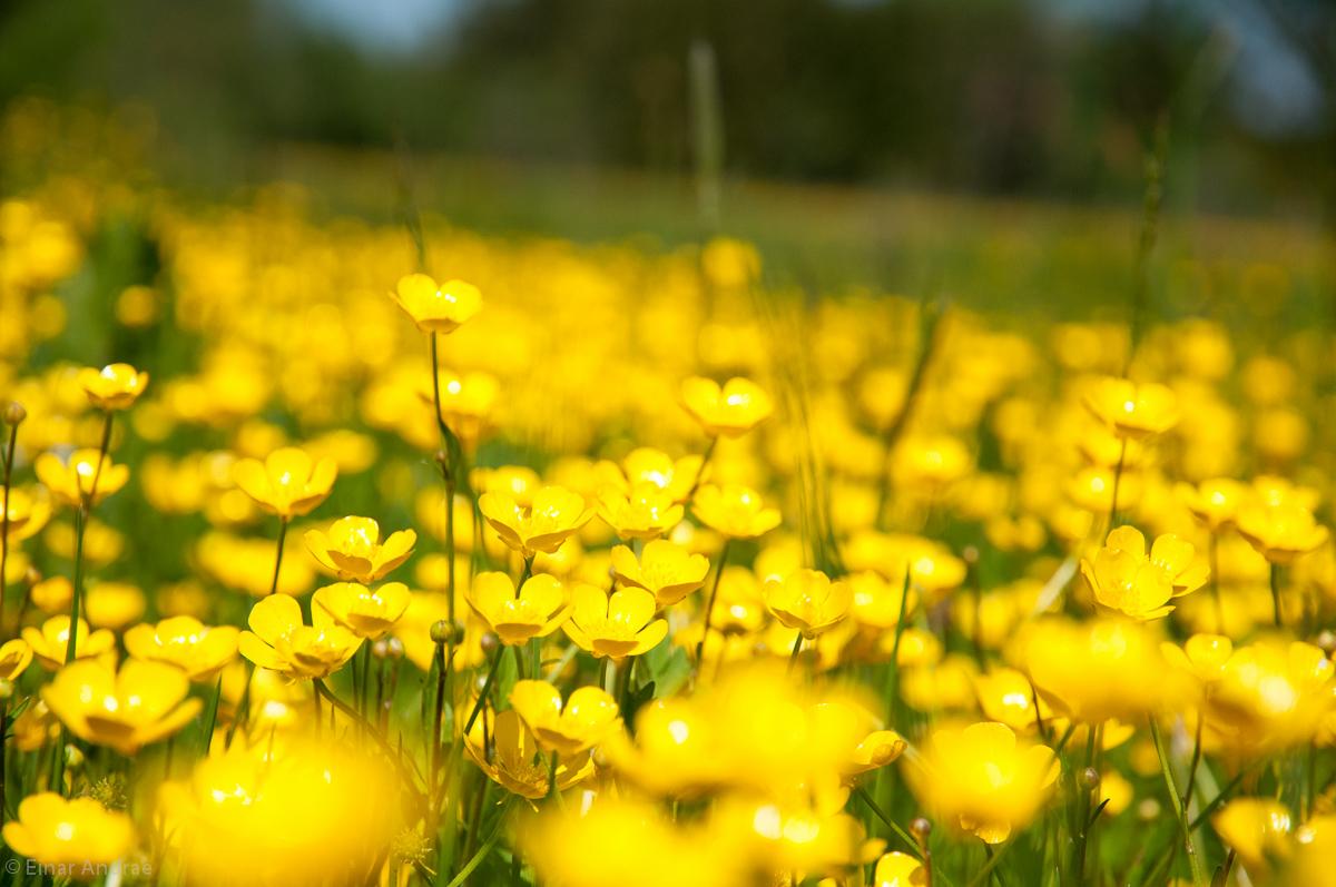 Frühlingswiese mit Hahnenfuss