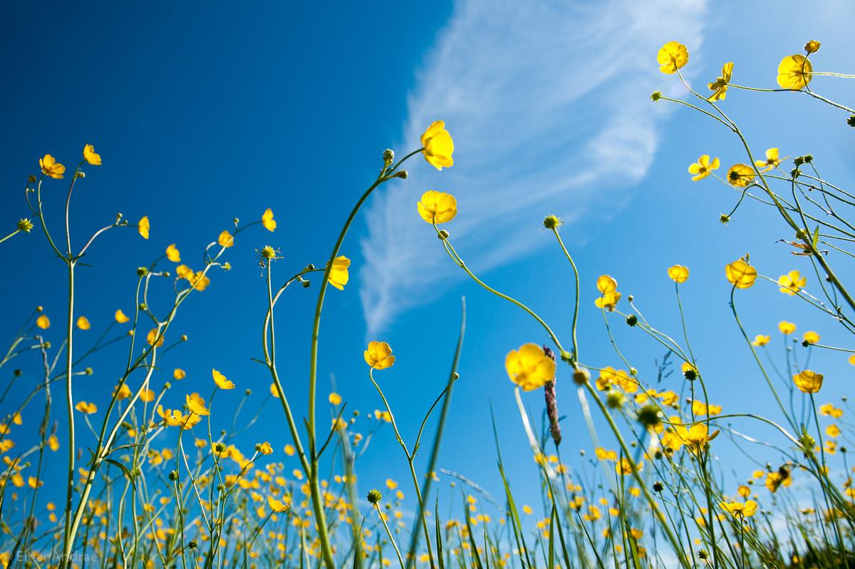 Hahnenfuss wächst in den Himmel