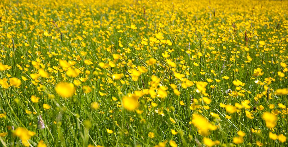 Hahnenfuss auf der Frühlingswiese
