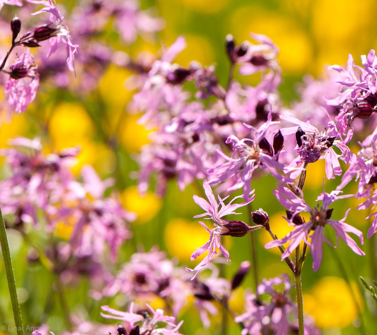 Kuckuckslichtnelken Blüten