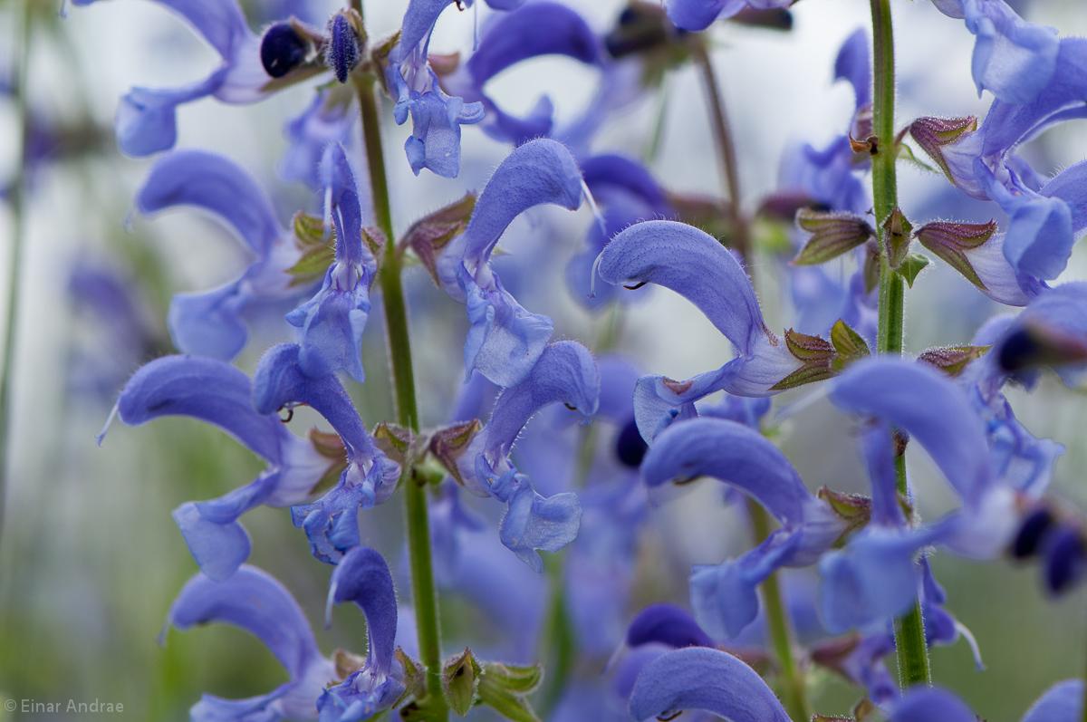 Wiesensalbei Blüten