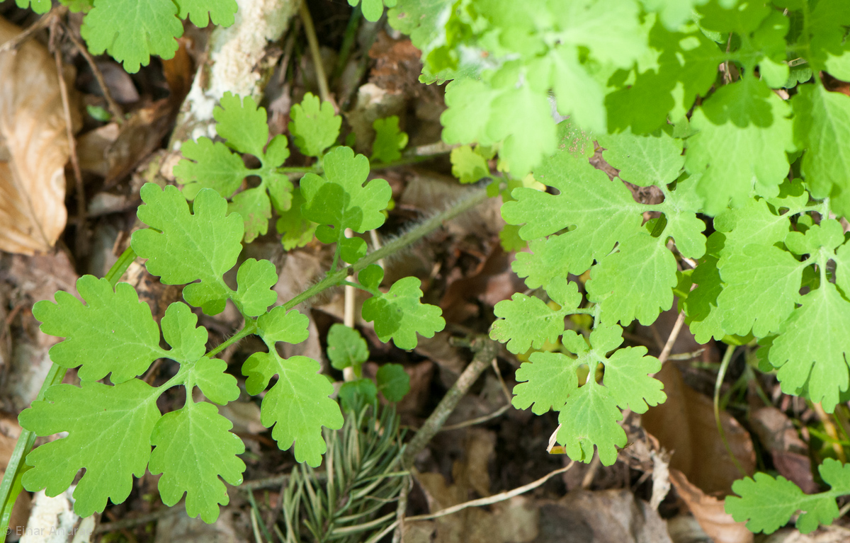 Schöllkraut Blätter