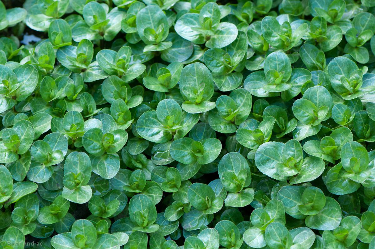 Bachbunge Blätter