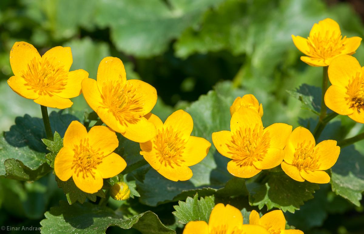 Sumpfdotterblume Blüten