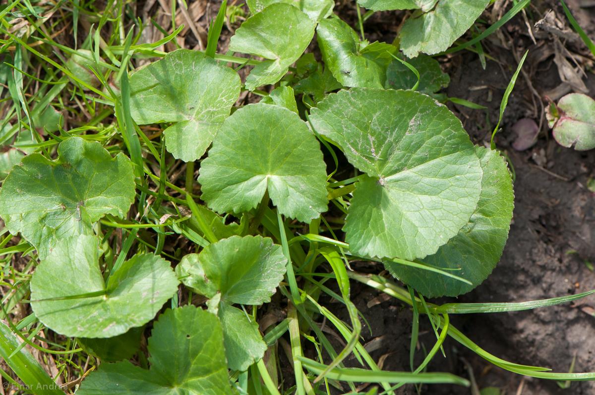 Sumpfdotterblume Blätter