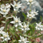 wpid4169-alpen-edelweiss-2.jpg