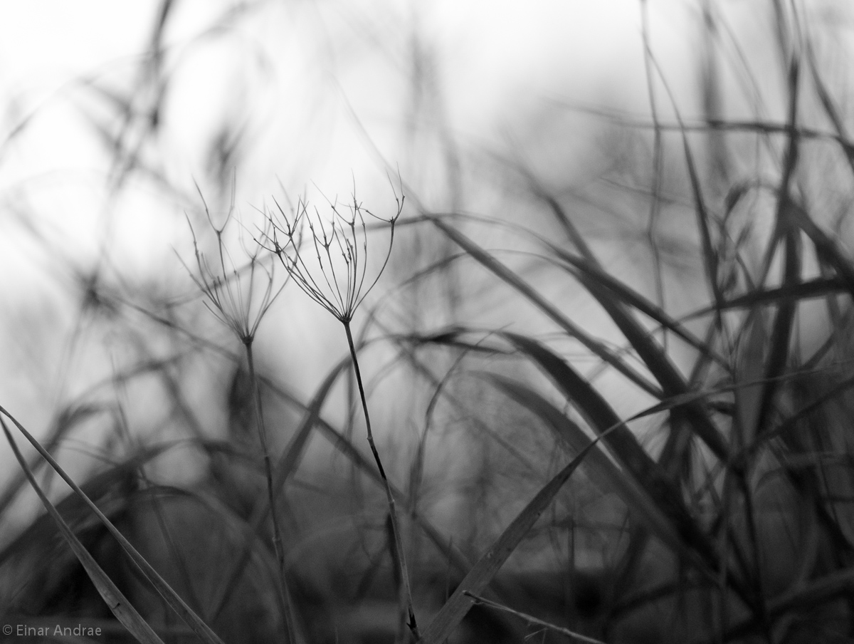 Samenstände im Gras