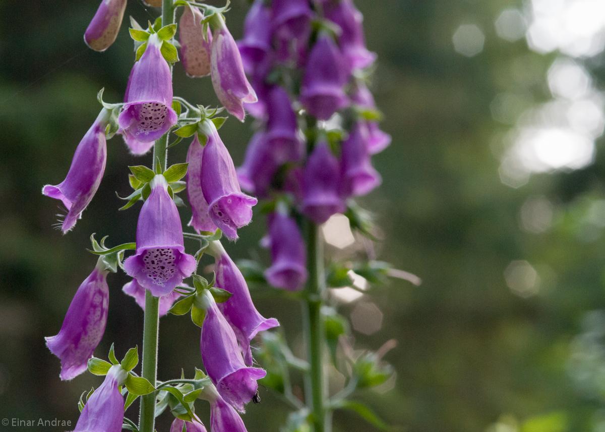 Fingerhut Blüten