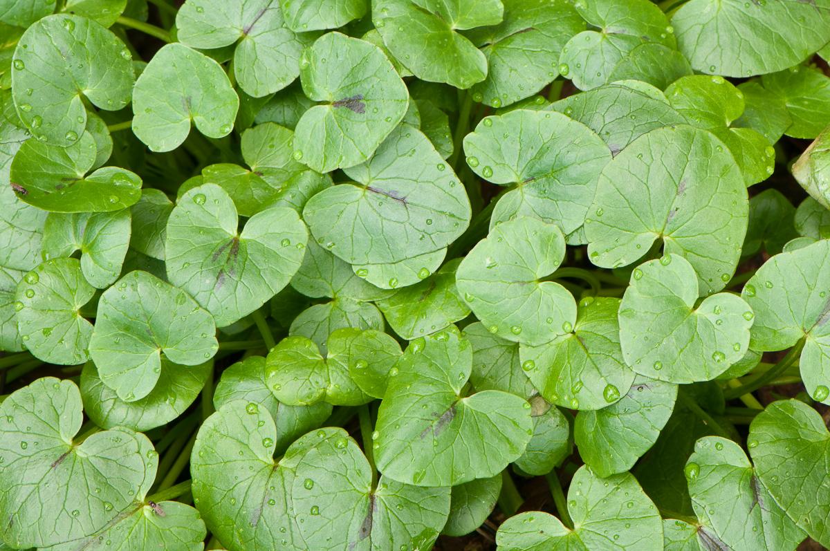Scharbockskraut Blätter