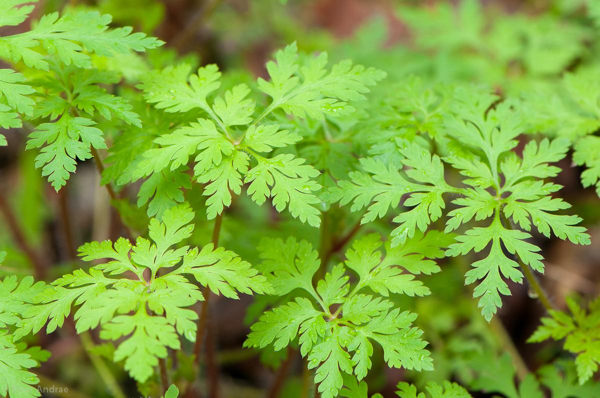 Stinkender Storchschnabel Blätter