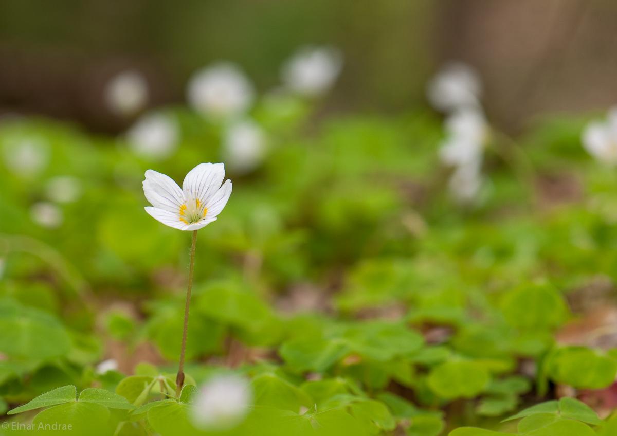Sauerklee Blüten