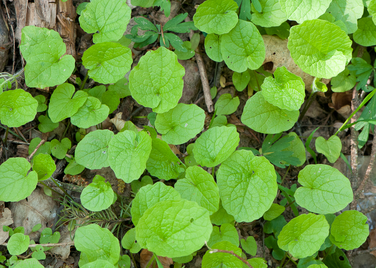Knoblauchsrauke junge Blätter