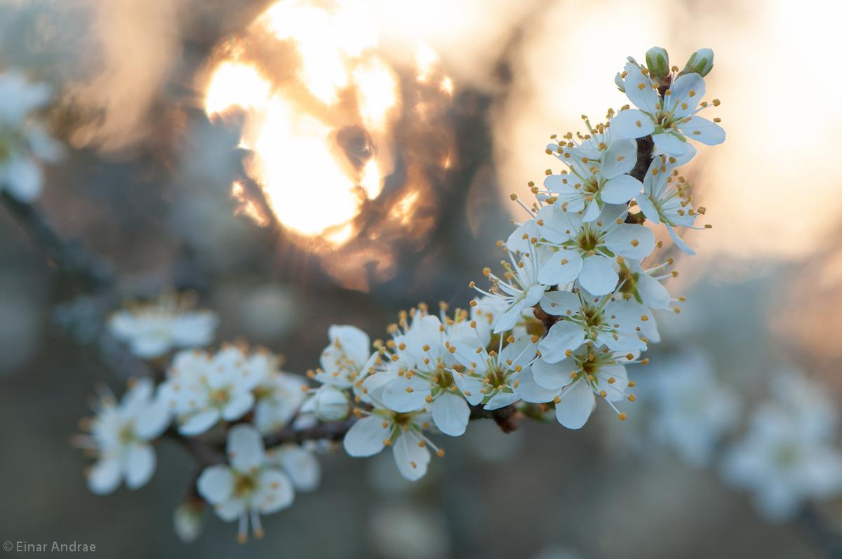 Schlehenblüten