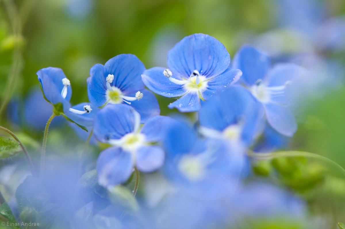 Fadenehrenpreis Blüten