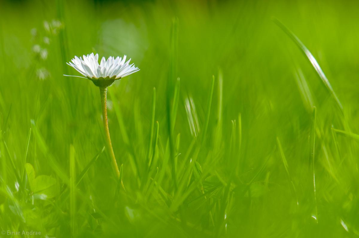 Gänseblümchen in Gras