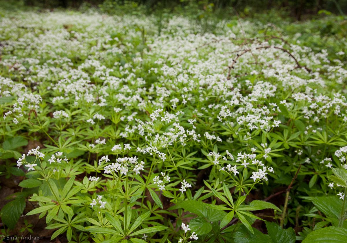 Waldmeister mit Blüten