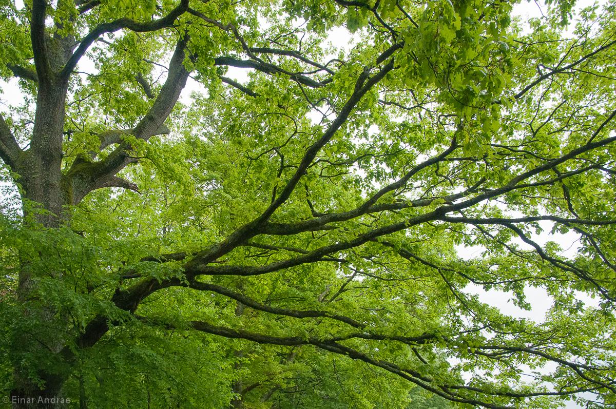 Eiche mit jungen Blättern im Frühling