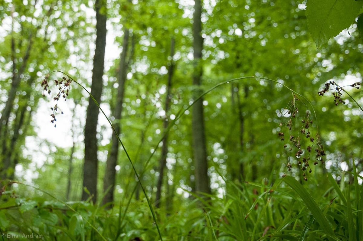 Gras im Wald mit Regentropfen