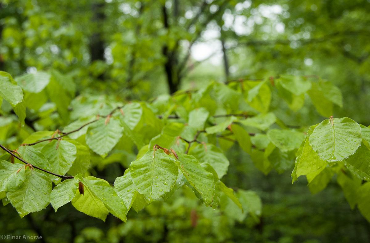 Junge Buchenblätter mit Regentropfen