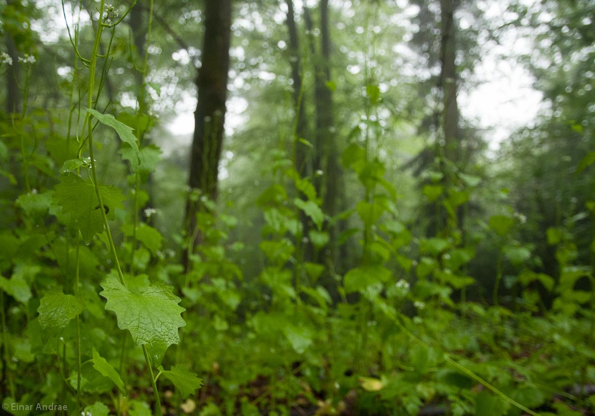 Knoblauchrauke im Wald