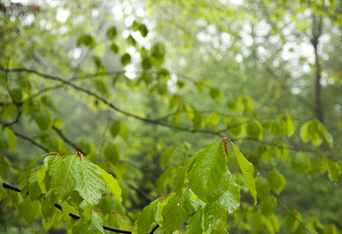 Buchenzweige mit jungen Blättern und Regentropfen