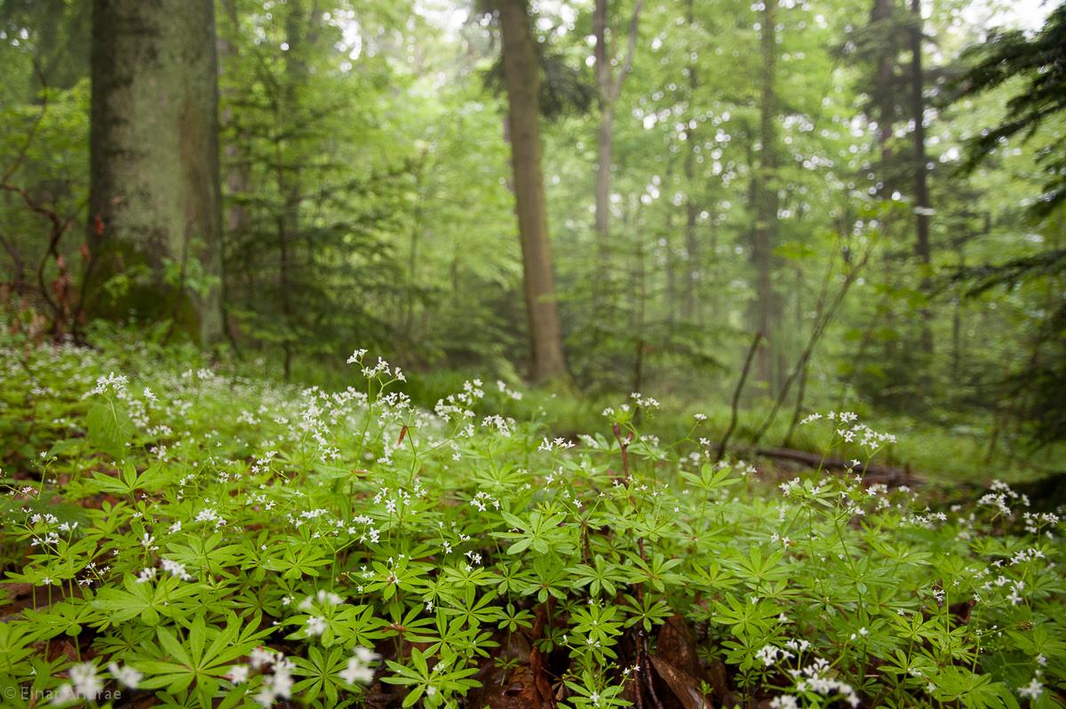 Waldmeister Wald