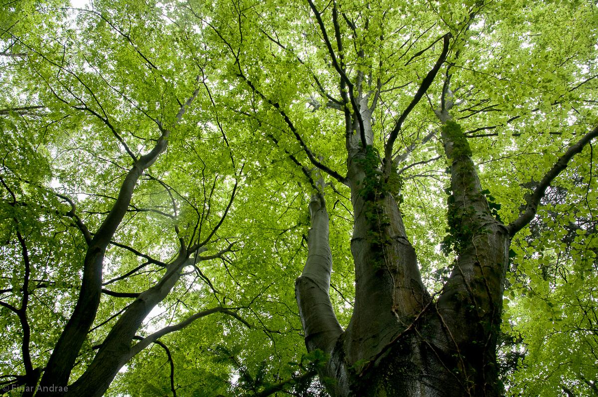 Baumkronen mit jungem Grün