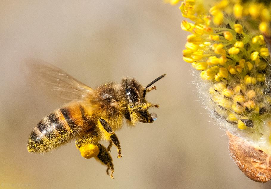 Biene im Flug auf Weidenkätzchen
